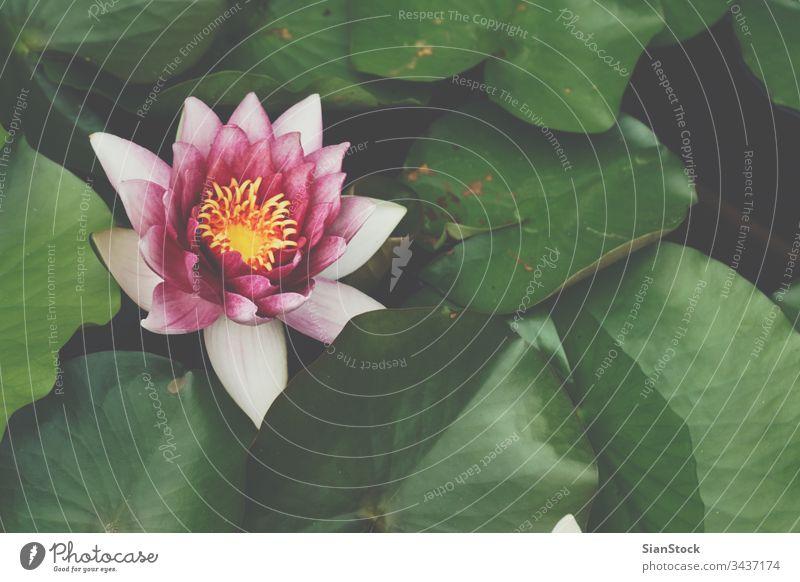Wunderschöne Seerose oder Lotusblume, weiches Morgenlicht. Lotos Blume Wasser Natur Garten Licht Teich Blumen grün rosa Blüte Blütezeit Pflanze Schönheit