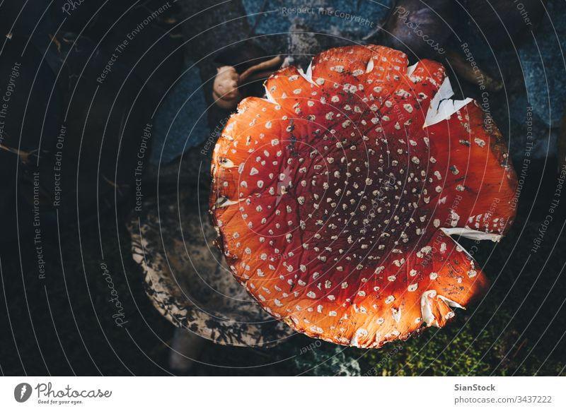 Amanita muscaria-Pilz im Wald Verschlussdeckel fallen Gift Fliege Pilze Boden Wachstum Detailaufnahme farbenfroh weiß Gras Pflanzen giftig Fliegenpilz Gefahr
