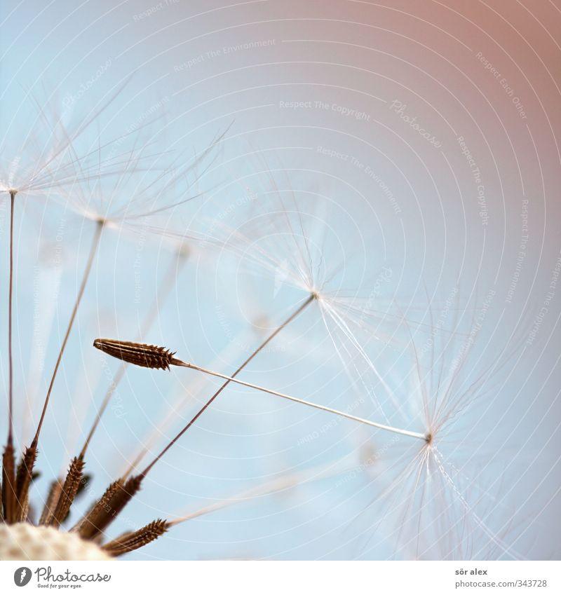 erster Umwelt Natur Pflanze Tier Frühling Blume Löwenzahn Samen weiß Farbfoto mehrfarbig Nahaufnahme Detailaufnahme Makroaufnahme Menschenleer