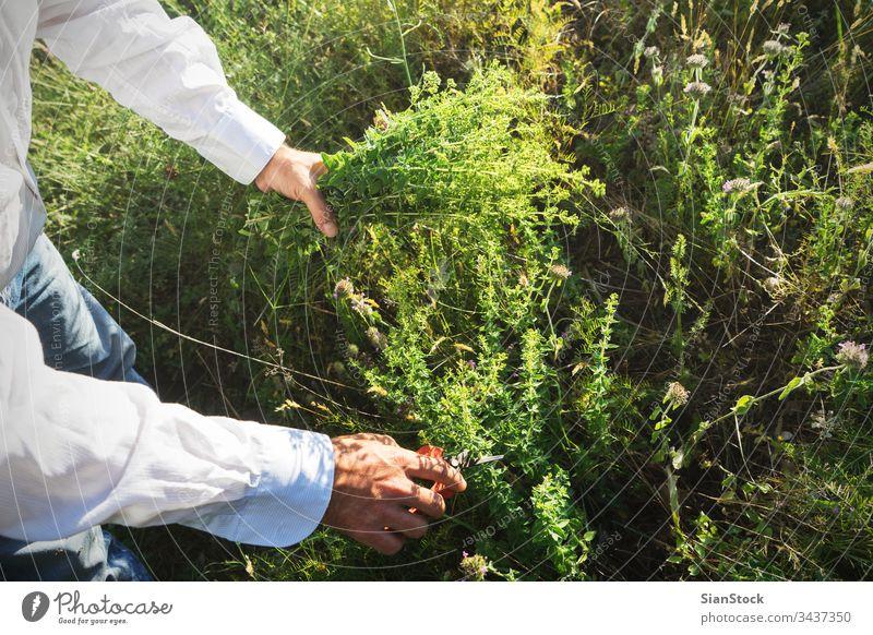 Der Mensch schneidet wilden Oregano in den Bergen frisch Mann männlich Hände Hand Schere organisch Lebensmittel Garten Natur grün Gesundheit natürlich Pflanze