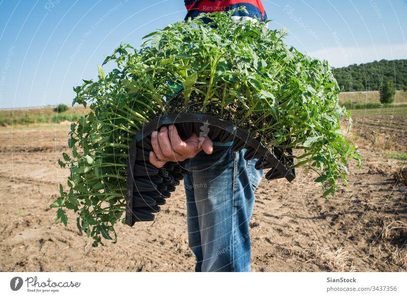 Landwirt, der junge Tomaten anpflanzt Landwirte Feld Gemüse Garten Ackerbau Bauernhof grün Landwirtschaft Pflanze Natur organisch Gartenarbeit wachsend blau