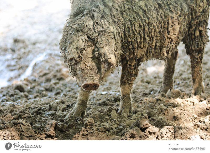 Ungarisches Mangalitza-Schwein Mangalica-Schwein Wollschwein Schafschwein Wolle ungarisch Tierportrait Gourmefleisch dreckig Freilandhaltung anspruchslos