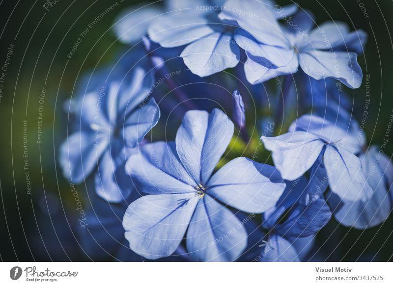 Blaue Blüten der Kap-Bleiwurz, auch bekannt als Blauer Bleiwurz oder Plumbago Auriculata Blumen Blütezeit botanisch Botanik Flora geblümt Blütenblätter Garten