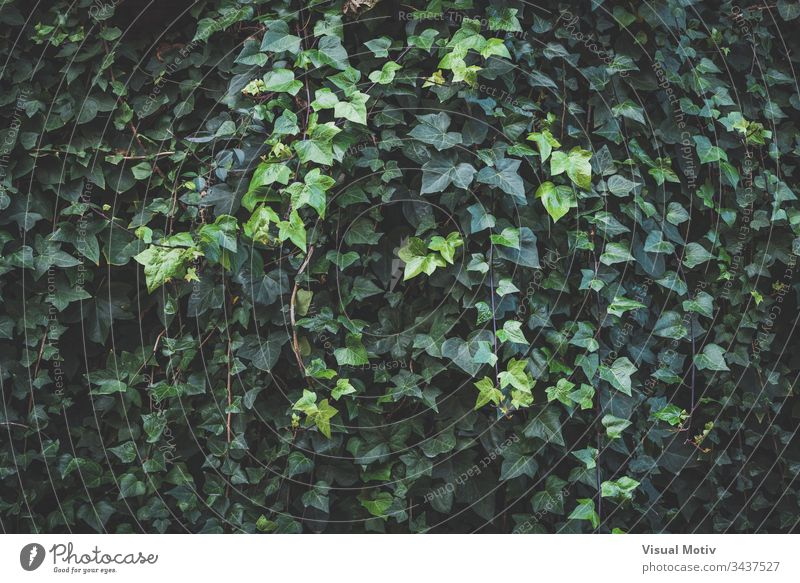 Immergrüne Blätter und neue Sprösslinge von Kletter-Efeu Farbe Natur natürlich Park Garten im Freien Außenseite botanisch Botanik Hintergrund Flora Vegetation