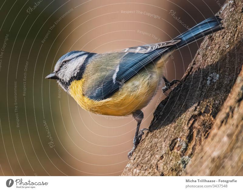 Blaumeise schaut in die Sonne Cyanistes caeruleus Meisen Kopf Auge Schnabel Krallen Flügel gefiedert Feder Tiergesicht Vogel Wildtier Sonnenlicht Baum Baumstamm
