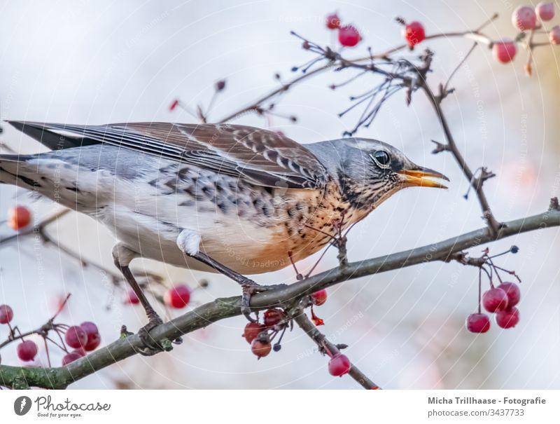 Wacholderdrossel im Baum Vogel Tier Tiergesicht Drossel Gefieder Federn Kopf Schnabel Auge Flügel Natur Wildtier Zweige u. Äste Zweige und Äste Schönes Wetter