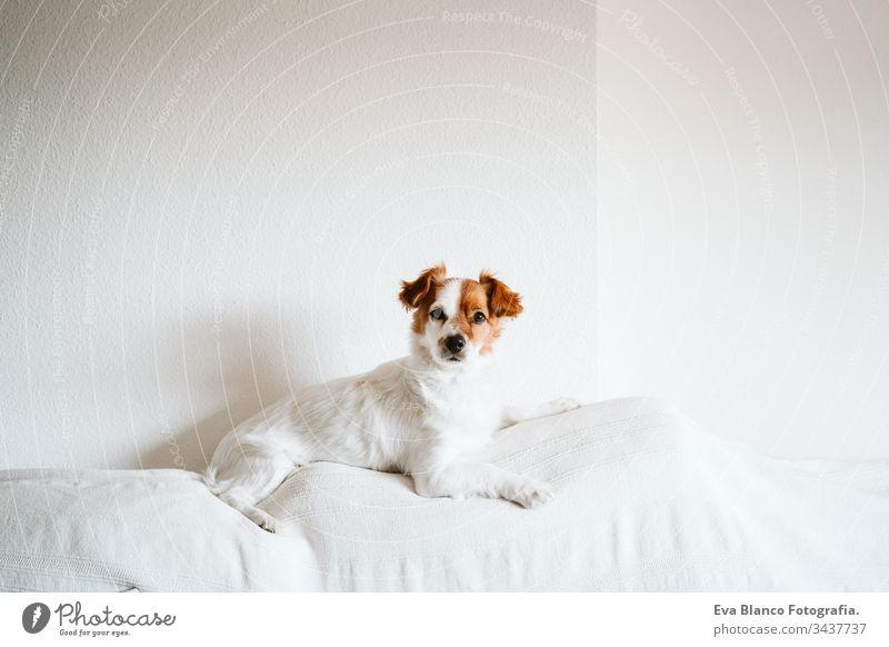 süßer Jack-Russell-Hund auf dem Sofa mit Briefbrett mit STAY HOME-Nachricht. Pandemisches Coronavirus covid-19 Konzept zu Hause bleiben Haustier jack russell