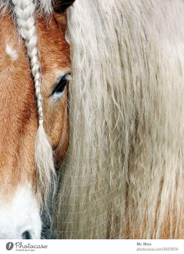 Du hast die Haare schön Pferd Pferdekopf Ponys Zopf geflochten Tier Tierporträt Mähne Nutztier Fell Haare & Frisuren Reitsport Fellpflege Tiergesicht Haflinger
