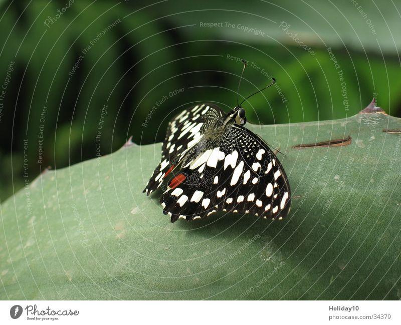 Schmetterling Makroaufnahme Blatt grün Hintergrundbild Nahaufnahme