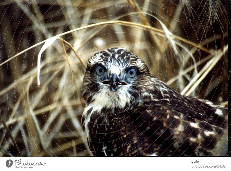 Portrait eines Raubvogels Bussard Feld Vogel Jungvogel Schock