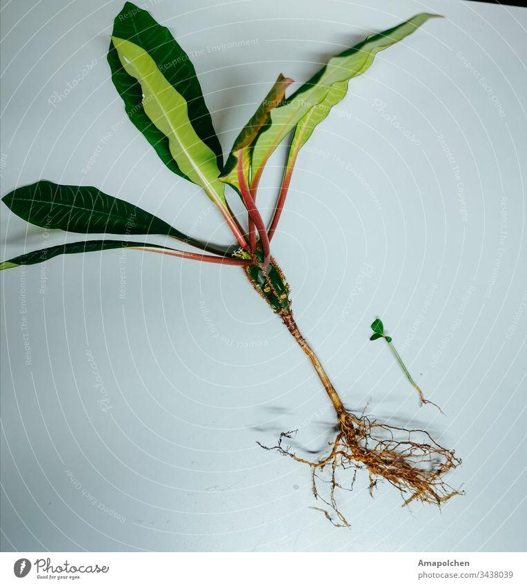 Pflanze und Spross  Groß und Klein Pflanzenteile Sprössling Gärtner Gärtnerei Blume Topfpflanze Garten Blatt grün Gartenarbeit Frühling Natur Wachstum