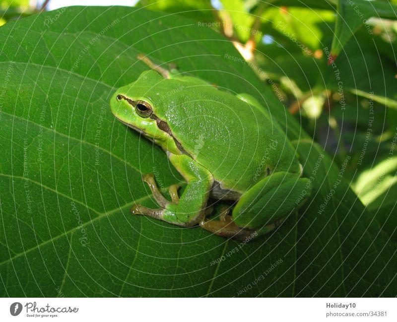 Laubfrosch Baum grün Blatt Frosch Lurch