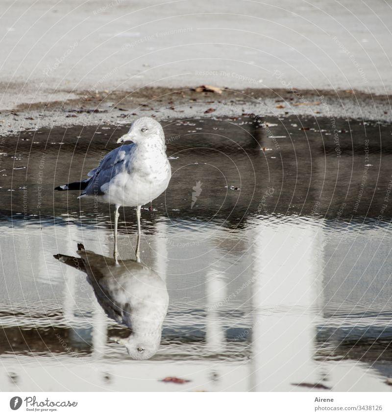 zwei Wasservögel Möwe Möwenvogel Spiegelung Pfütze Vogel Tier Natur Tag menschenleer Wildtier Asphalt Straße Sonnenlicht Licht hell weiß skeptisch Skepsis