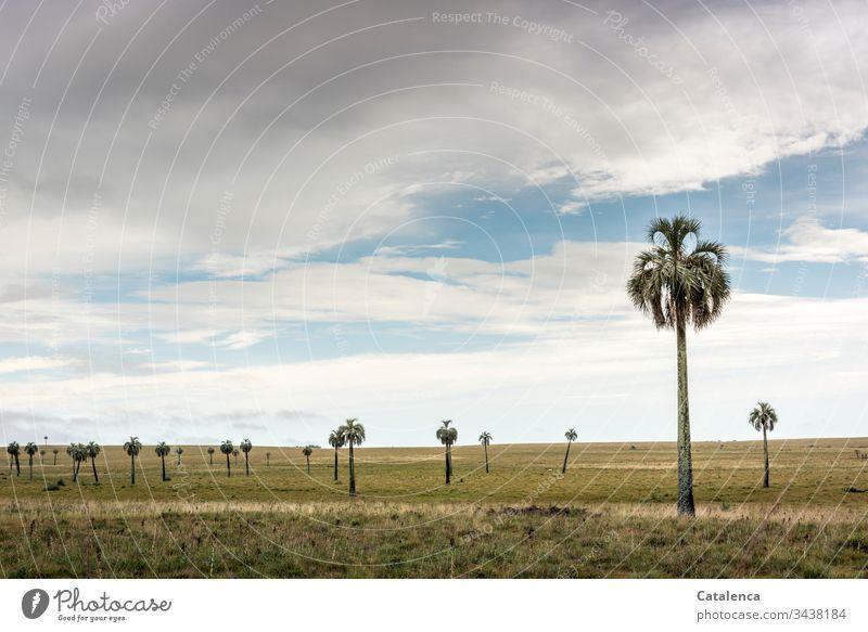 Spärlich verteilt wachsen die Palmen im Grasland bis zum Horizont Natur Landschaft Wiese Himmel Wolken Sommer grün Pflanze Umwelt blau Tag grau Weite