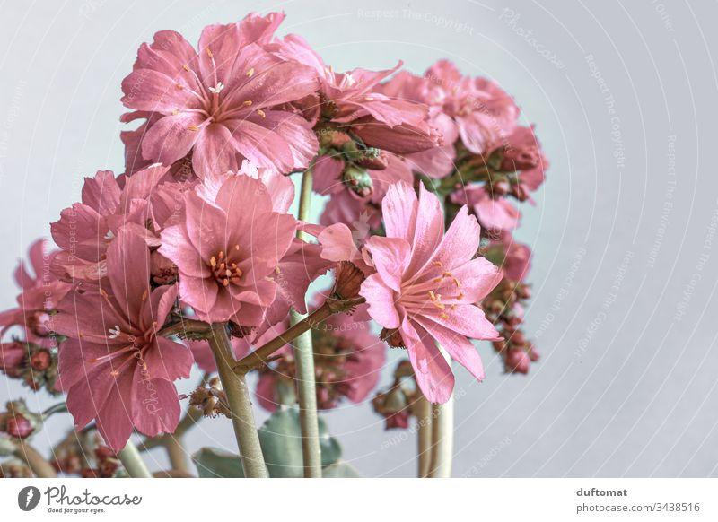 zarte rosa Blüten vor grauem Hintergrund Blumen Frühling Pflanze Nahaufnahme Natur Garten Blühend Makroaufnahme Schwache Tiefenschärfe Unschärfe elegant