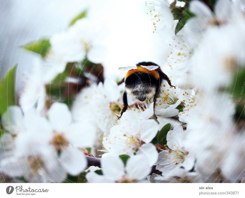 Saison Umwelt Natur Frühling Schönes Wetter Blüte Wildtier Hummel Insekt 1 Tier fliegen Fressen Freundlichkeit frisch positiv grün schwarz weiß bestäuben Flügel