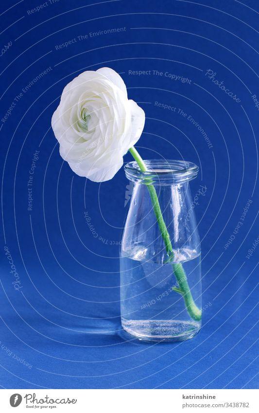 Frühlingskomposition mit einer weißen Blume in einer Glasflasche auf blauem Hintergrund Freesie Flasche Wasser romantisch abschließen Konzept kreativ Tag