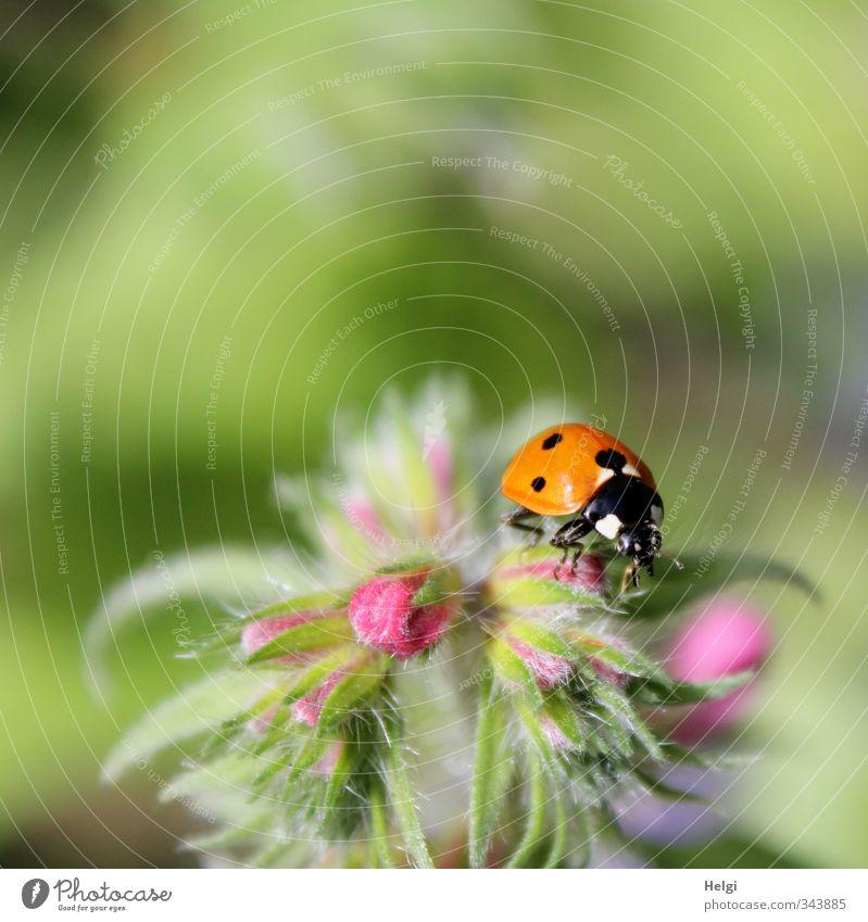 kleiner Käfer... Natur grün Pflanze Sommer rot Blume ruhig Tier Blatt schwarz Umwelt Leben Blüte natürlich rosa