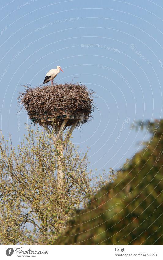 Weißstorch steht vor blauem Himmel in seinem Storchennest, im Vordergrund Sträucher mit grünen Blättern Horst Vogel Tier Farbfoto Außenaufnahme Tag Tierporträt