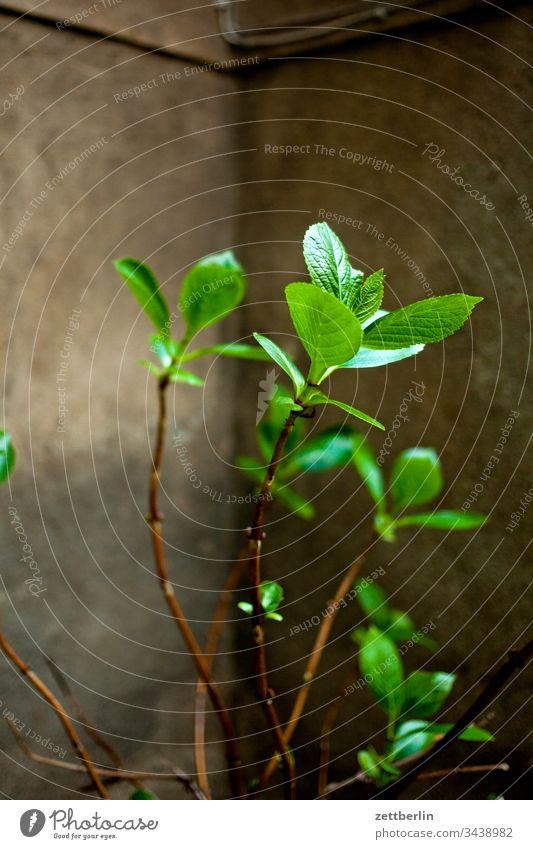 Frische grüne Blätter ausgangssperre berlin corona corvid corvis 19 haus hinterhof mehrfamilienhaus menschenleer textfreiraum quarantäne straße urban blumentopf