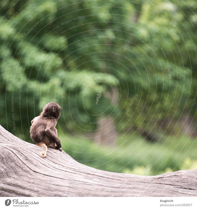 Äffchen III Tier Wildtier Affen 1 Tierjunges Blick sitzen klein niedlich braun grün Farbfoto Außenaufnahme Menschenleer Textfreiraum oben Tag