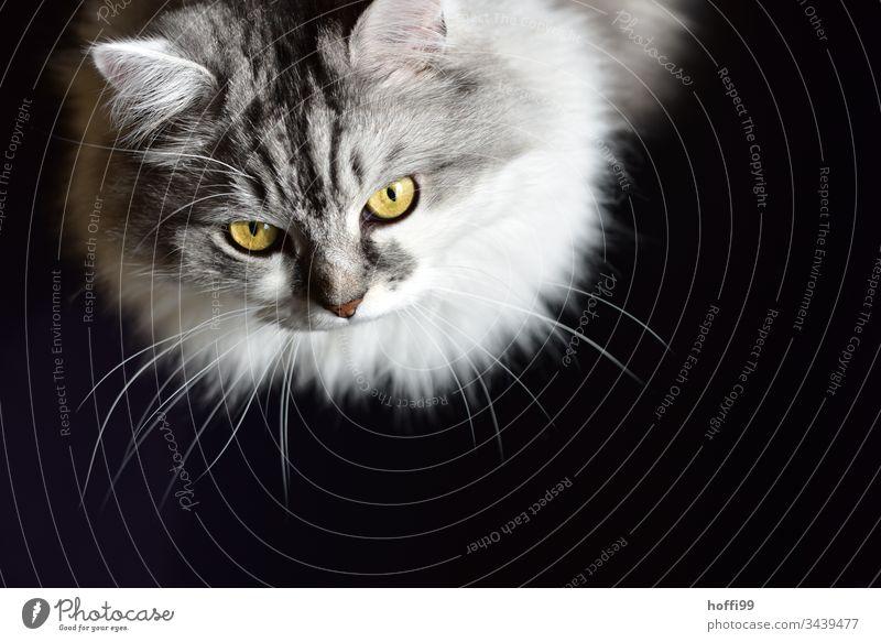 Katzenportrait von oben mit schwarzem Hintergrund Porträt weiß Tierporträt Schwarzweißfoto Haustier Hauskatze Katzenauge Fell Tiergesicht Katzenkopf Schnurrhaar