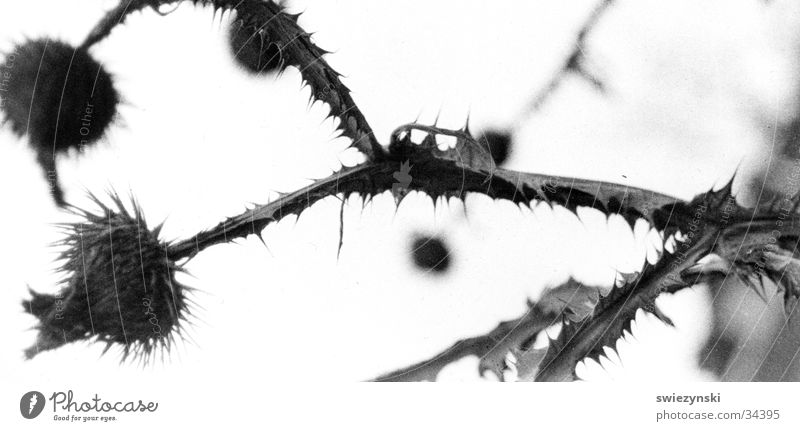 Distel trocken Blume Stachel Spitze alt