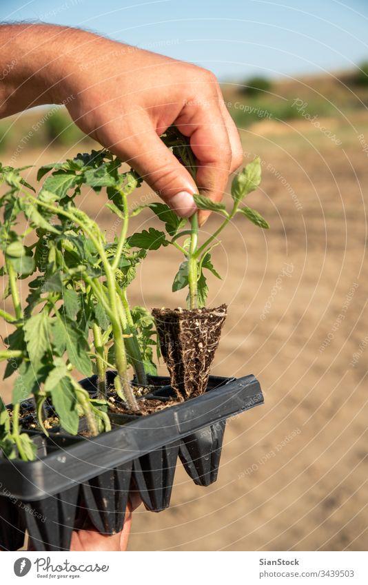 Männerhände halten junge Tomatenpflanzen Landwirtschaft Garten Topf Töpfe Gemüse Gartenarbeit Pflanze Frühling Boden Bepflanzung Hände Ackerbau Feld Hand