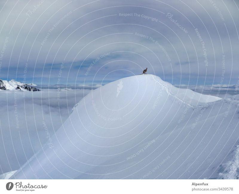 500|Über allen Gipfeln ist ruh - Känguru  |  Klimawandel Berge Berge u. Gebirge Tier Farbfoto Himmel Schnee Alpen Winter Außenaufnahme Schneebedeckte Gipfel