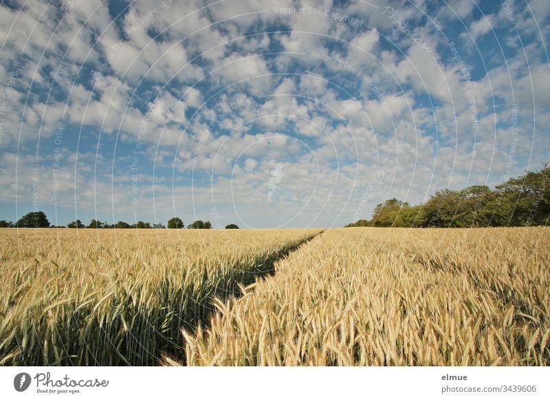 Getreidefeld mit Fahrspur und vielen Schönwetterwolken Triticale Landwirtschaft Feldwirtschaft Ackerbau Wolke reifen Ähre Halm Sommer Natur Pflanze Landschaft