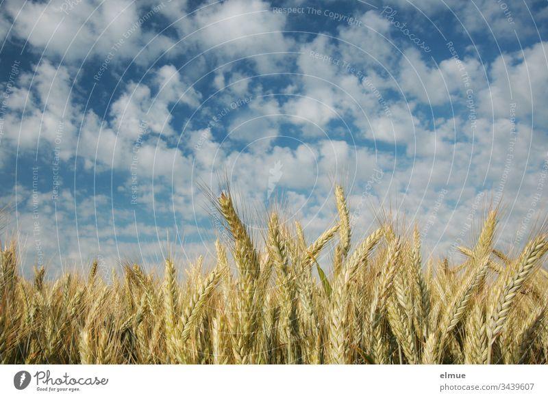 Getreidefeld aus der Froschperspektive mit vielen Schönwetterwolken Triticale Landwirtschaft Feldwirtschaft Ackerbau Wolke reifen Ähre Halm Sommer Natur Pflanze