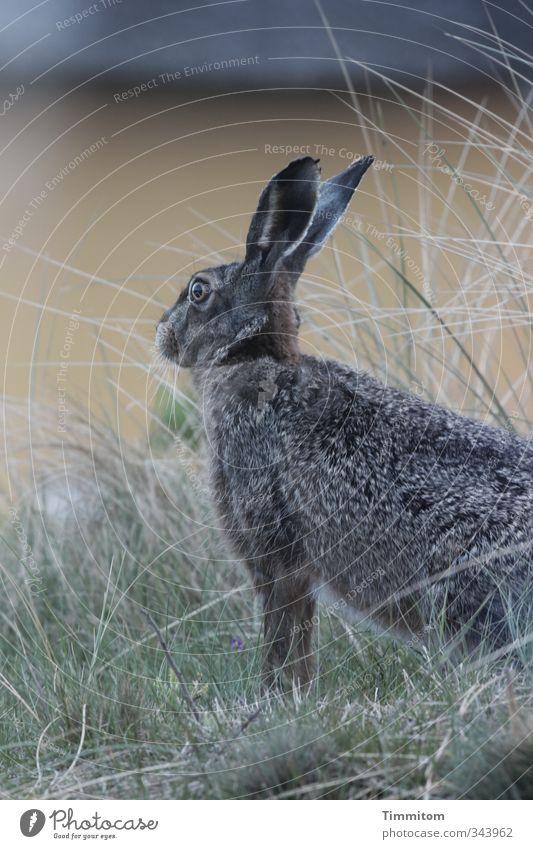 Montagshase, urlaubsreif. grün Pflanze ruhig Tier gelb Umwelt Leben Gefühle grau natürlich Wildtier niedlich einfach beobachten Neugier Hase & Kaninchen