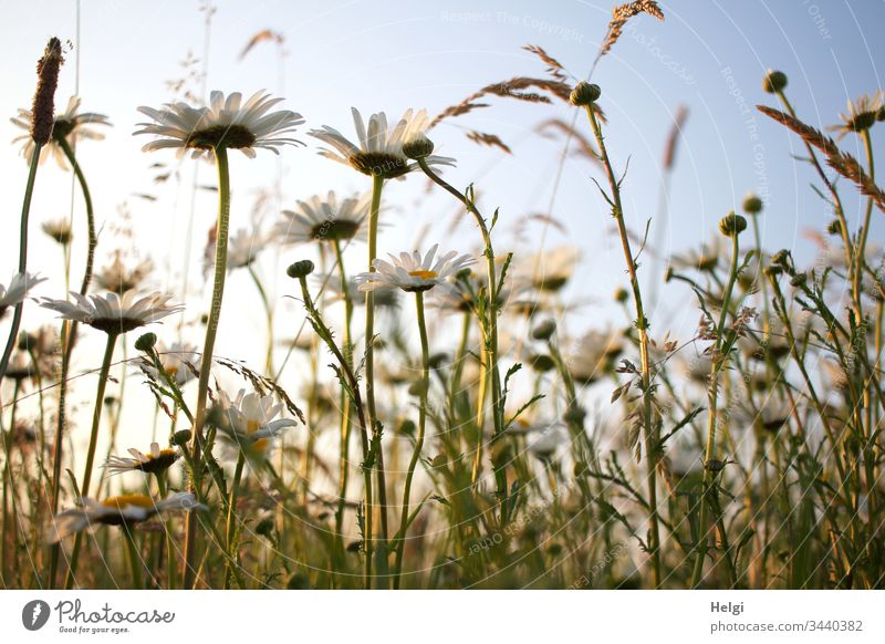 blühende Margariten im Sonnenlicht vor blauem Himmel in einer Blumenwiese aus der Froschperspektive Blüte Sommerblumen Margaritenwiese Farbfoto Außenaufnahme