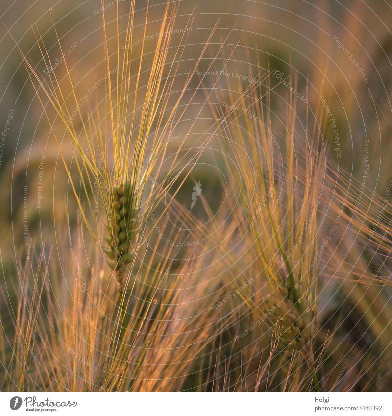 Ähren der Gerste wachsen in einem Getreidefeld und leuchten in der Abendsonne Gerstenfeld Korn Kornfeld Feld Landwirtschaft Pflanze Außenaufnahme Sommer Umwelt