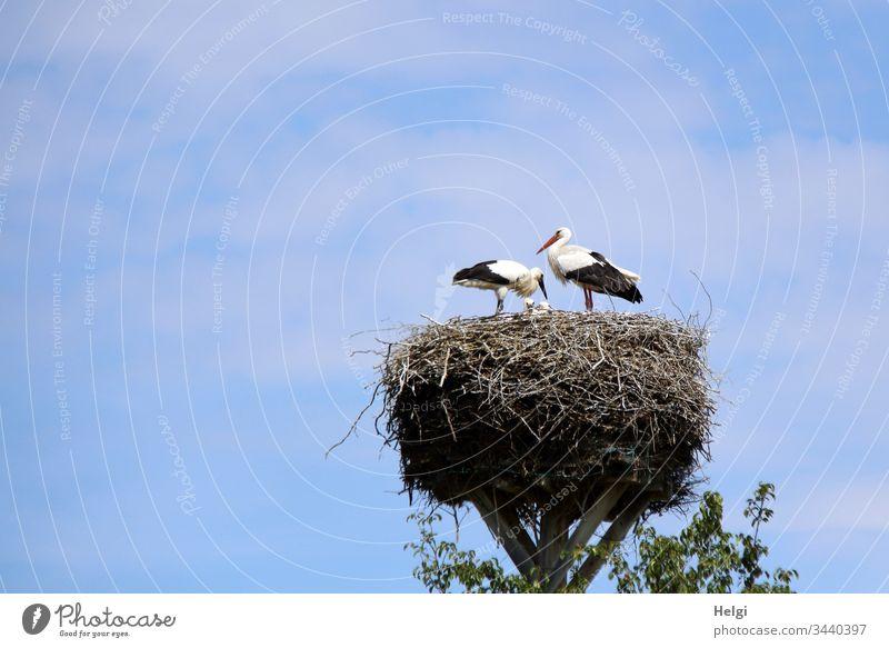zwei Störche stehen bei schönem Wetter im Storchennest und versorgen ihre Jungen Storchenpaar Jungstorch Weißstorch Nest Horst Vogel Wildtier Tierporträt