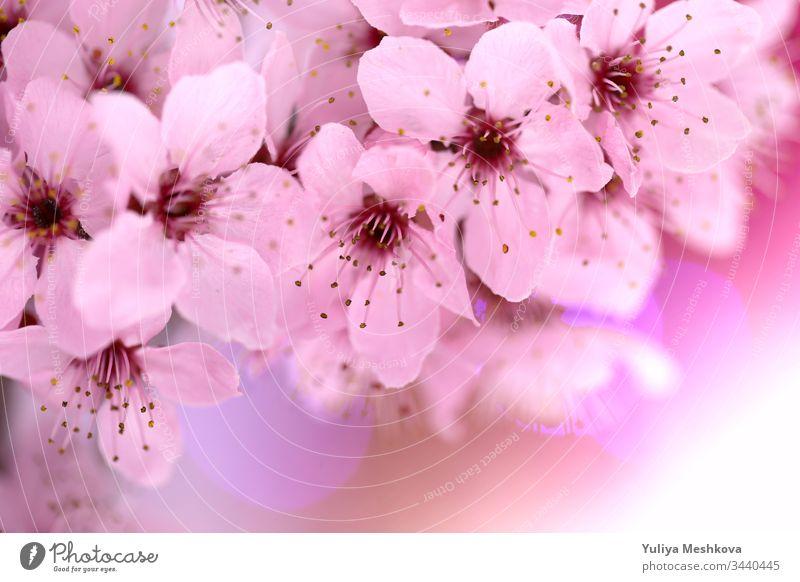 Kirschblüten im Frühling .kirschrosa Blumen in Nahaufnahme auf einem verschwommenen rosa Hintergrund. Frühlingszarte Blütenhintergrund in Pastellfarben. Kirsche