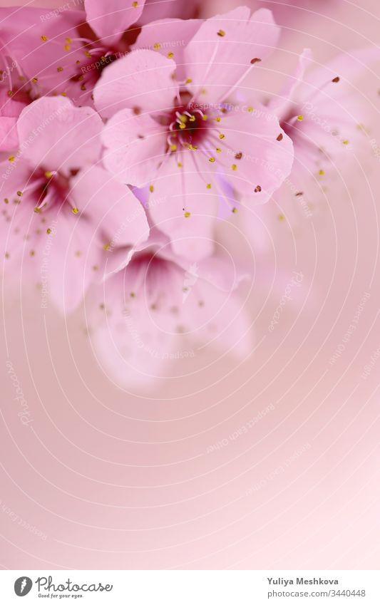 Kirschblüten-Makro auf einem hellrosa verschwommenen Hintergrund. Frühlingssaison.schöner zarter floraler Hintergrund Kirsche Blume Licht Saison filigran