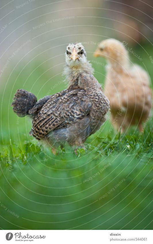 ò;ó Natur Tier Umwelt Wiese Tierjunges Gras klein natürlich Vogel stehen niedlich Neugier Bauernhof Haustier Bioprodukte kuschlig