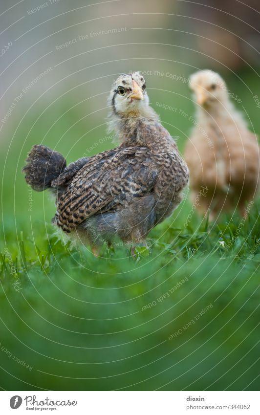 Der kritische Blick Landwirtschaft Forstwirtschaft Umwelt Natur Gras Wiese Tier Haustier Nutztier Vogel Flügel Hühnervögel Küken 2 Tierjunges stehen kuschlig