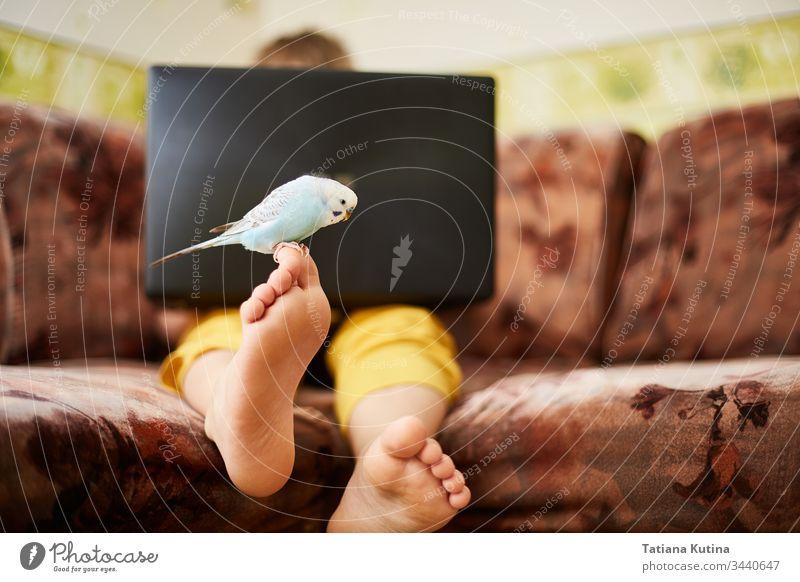 Ein blauer Wellensittich sitzt auf dem Bein eines Teenagers, der während der Quarantäne einer Coronovirusinfektion zu Hause studiert oder am Laptop spielt.
