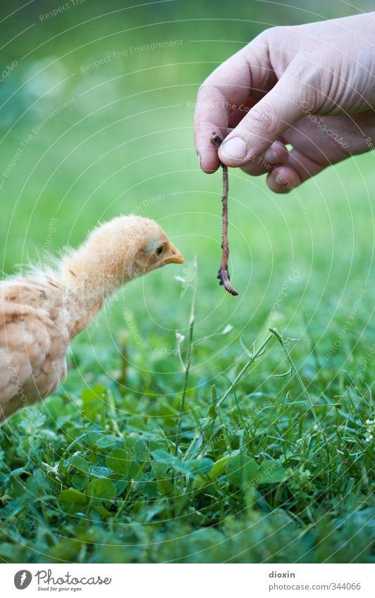 Wie? DAS kann man fressen? Landwirtschaft Forstwirtschaft Hand Umwelt Natur Gras Tier Haustier Vogel Hühnervögel Küken Wurm 1 2 Tierjunges füttern Blick