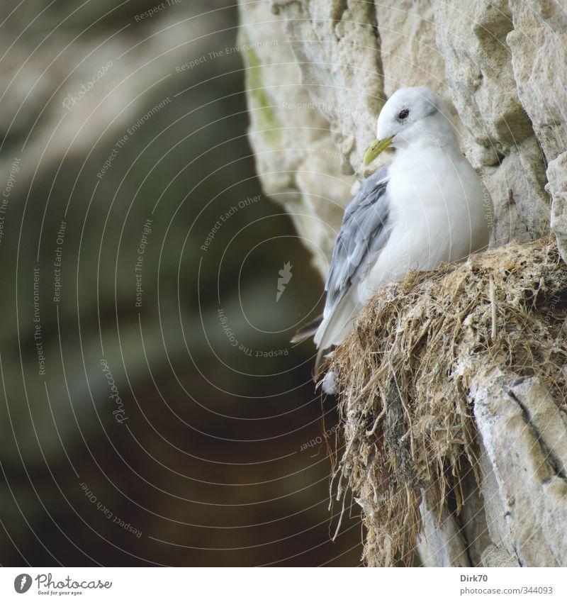Ein Leben am Abgrund Tier kalt Küste Stein Felsen Vogel Wildtier warten Häusliches Leben hoch bedrohlich Sicherheit Schutz Nordsee Möwe Partnerschaft