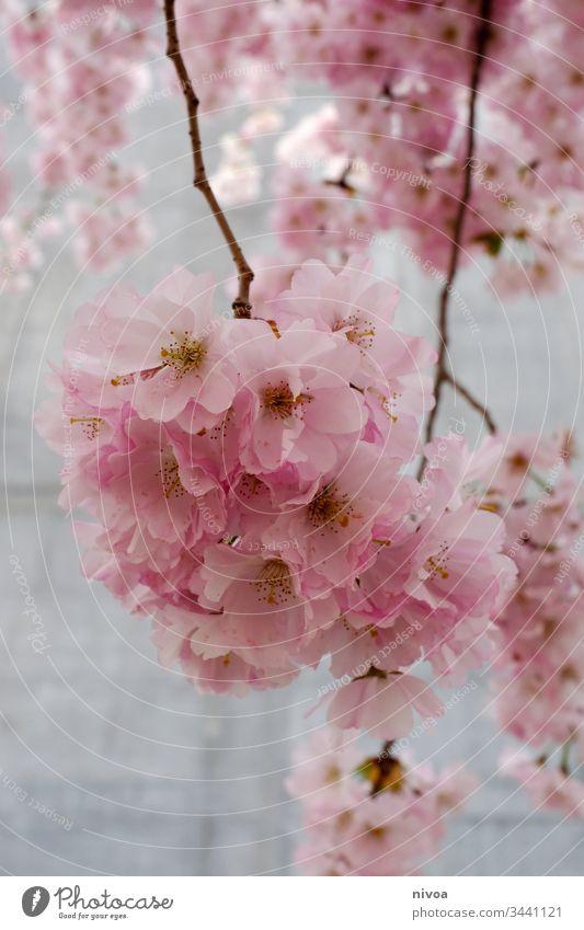 Kirschblüten kirschblütenbaum Kirschbaum Farbfoto Himmel Pflanze Außenaufnahme Kirsche Natur rosa Baum Frühling Blüte Blühend Frühlingsgefühle Menschenleer