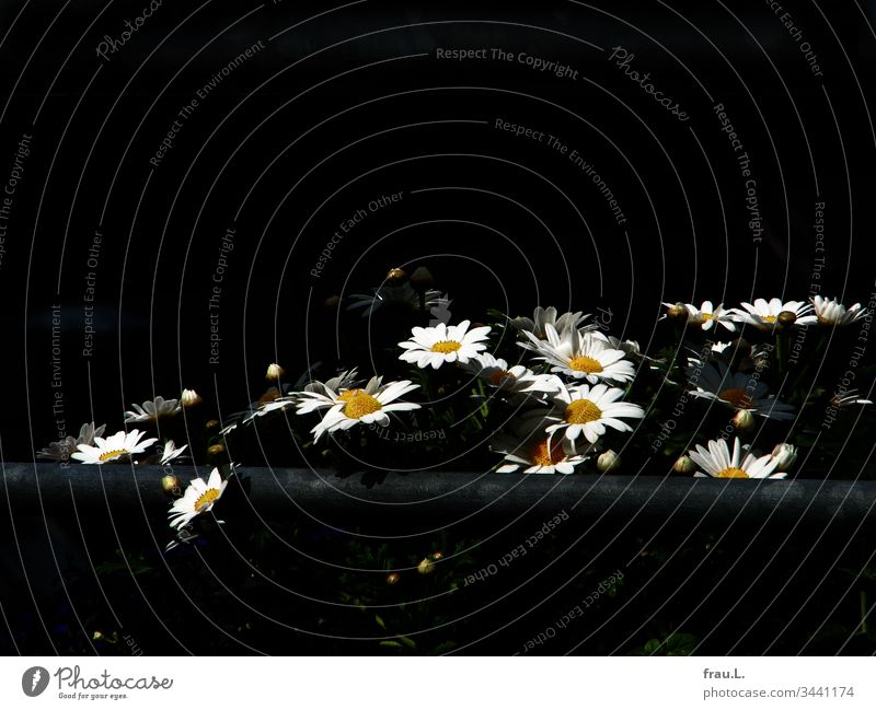 Die Margeriten strahlten wie kleine Sonnen in der Finsternis. Blumen Natur Blüte Pflanze Sommer Balkon Außenaufnahme Tag Menschenleer