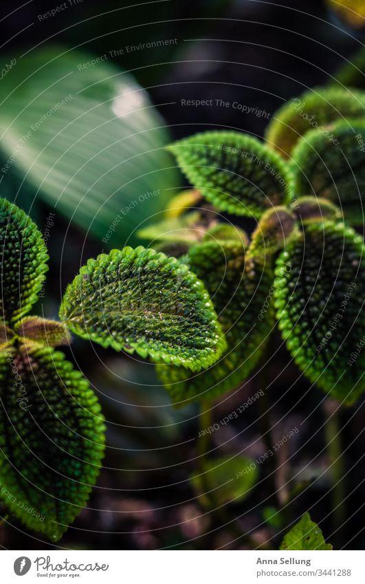 Grüne Vielfalt auf einer Pflanze grün Grünpflanze Farbfoto Nahaufnahme Detailaufnahme Unschärfe Menschenleer Umwelt Licht Natur Frühling natürlich Kontrast