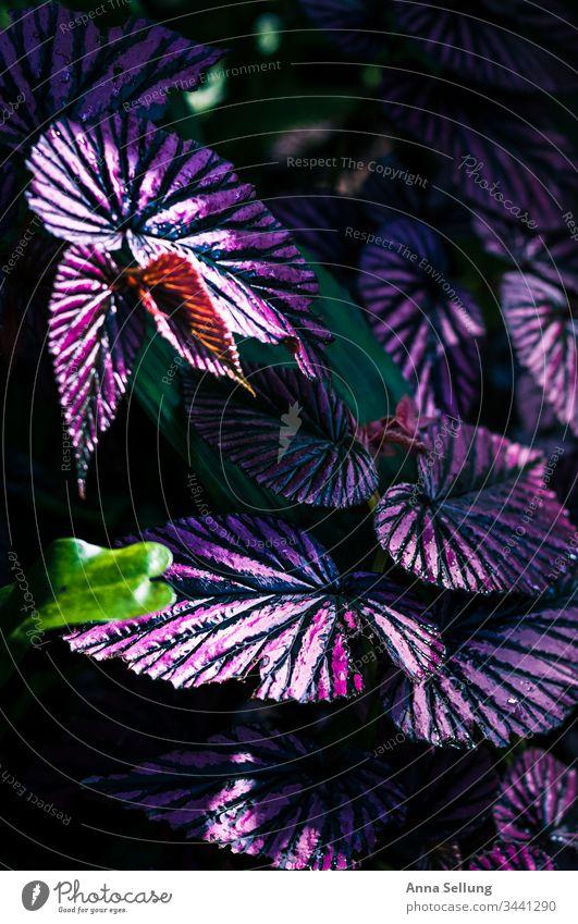 Lila Pflanze mit starken Linien-Strukturen lila Strukturen & Formen violett Menschenleer Blume Natur Farbfoto Detailaufnahme Nahaufnahme Blühend Unschärfe