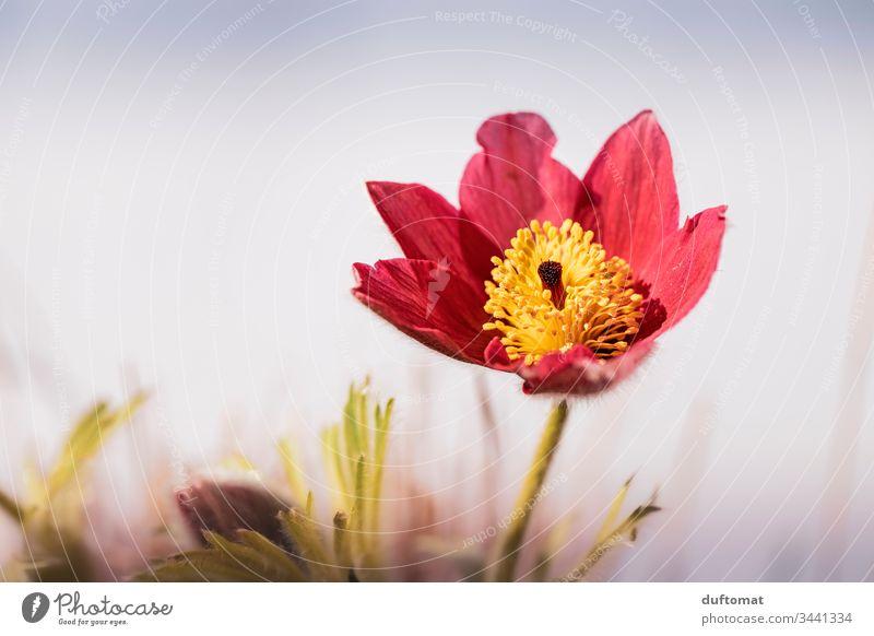 rot/gelbe Frühlingsblume (Küchenschelle, Kuhschelle) erblüht Blumen Boden Anemone Blüte Pflanze Nahaufnahme Natur Garten Außenaufnahme Blühend Makroaufnahme