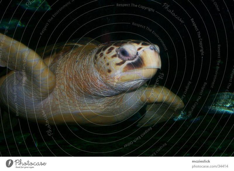 Schildkröte Wasser Tier Aquarium exotisch Schwimmhilfe langsam Schildkröte gepanzert Wasserschildkröte
