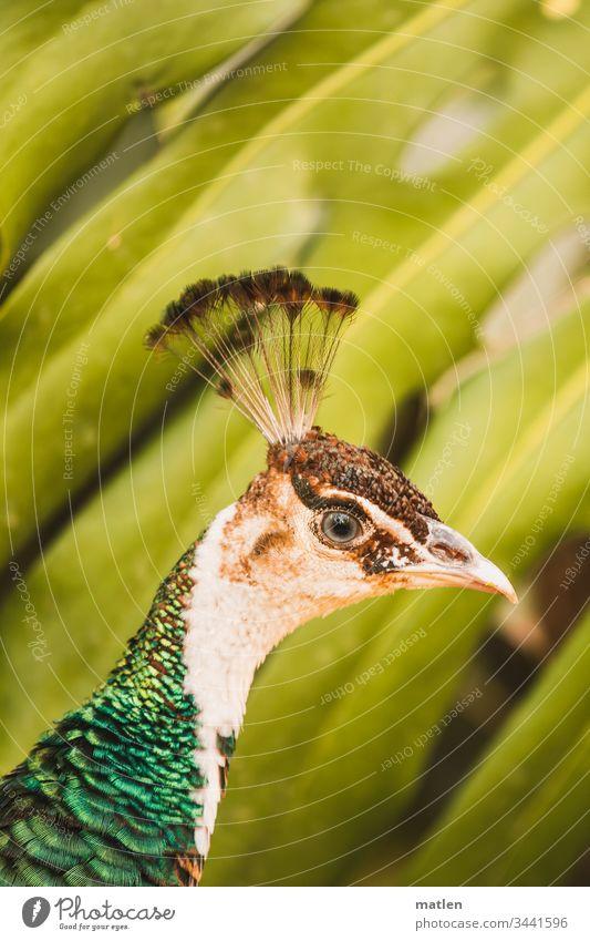 Pfauenkopf vor Palme Tierporträt Vogel Farbfoto Außenaufnahme schön Menschenleer Tag Tiergesicht mehrfarbig Wildtier Blick