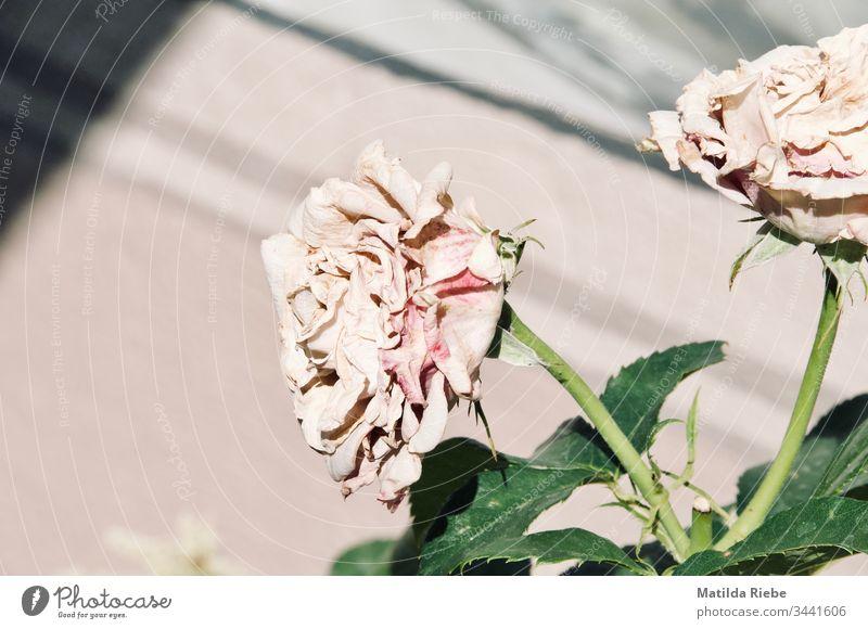Rosen Rosengewächse Rosenblätter Rosenblüte Blume Pflanze Natur rosa Blüte schön Duft Sommer Rosengarten Nahaufnahme Blühend Blatt Außenaufnahme Menschenleer